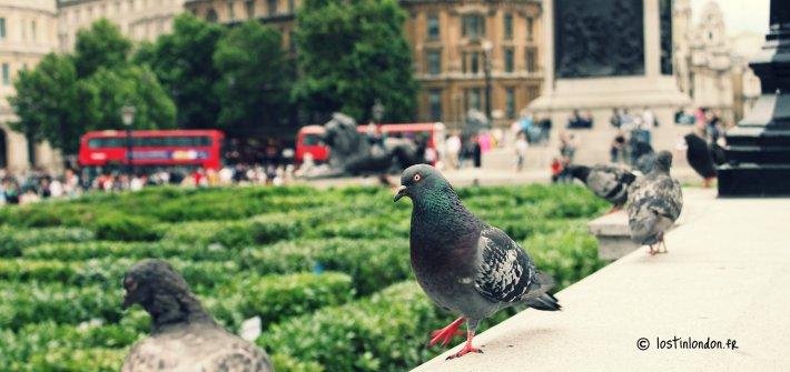pigeon londres